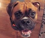 Rocco, a Boxer