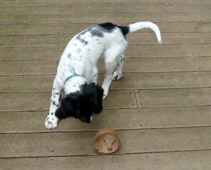 puppy plays with a coconut shell